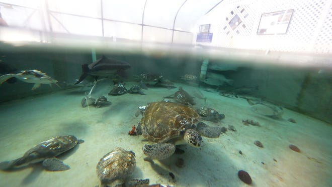 Sea turtles swim in the tanks at the Gulf Specimen Marine Lab on Saturday, Jan. 13, 2018, were they are being kept for safety until gulf waters warm above 60 degrees.