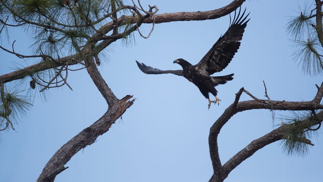 E10 and E11, of the Southwest Florida Eagle Cam, have been flying for a couple of weeks. They are staying near the nest but have been seen in nearby trees and on the ground. This is one of them flying back to the nest on Tuesday 4/3/2018.
