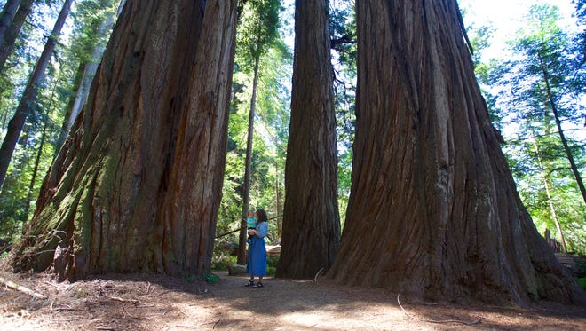 A short hiking trail explores Stout Grove in Jedediah Smith Redwoods State Park