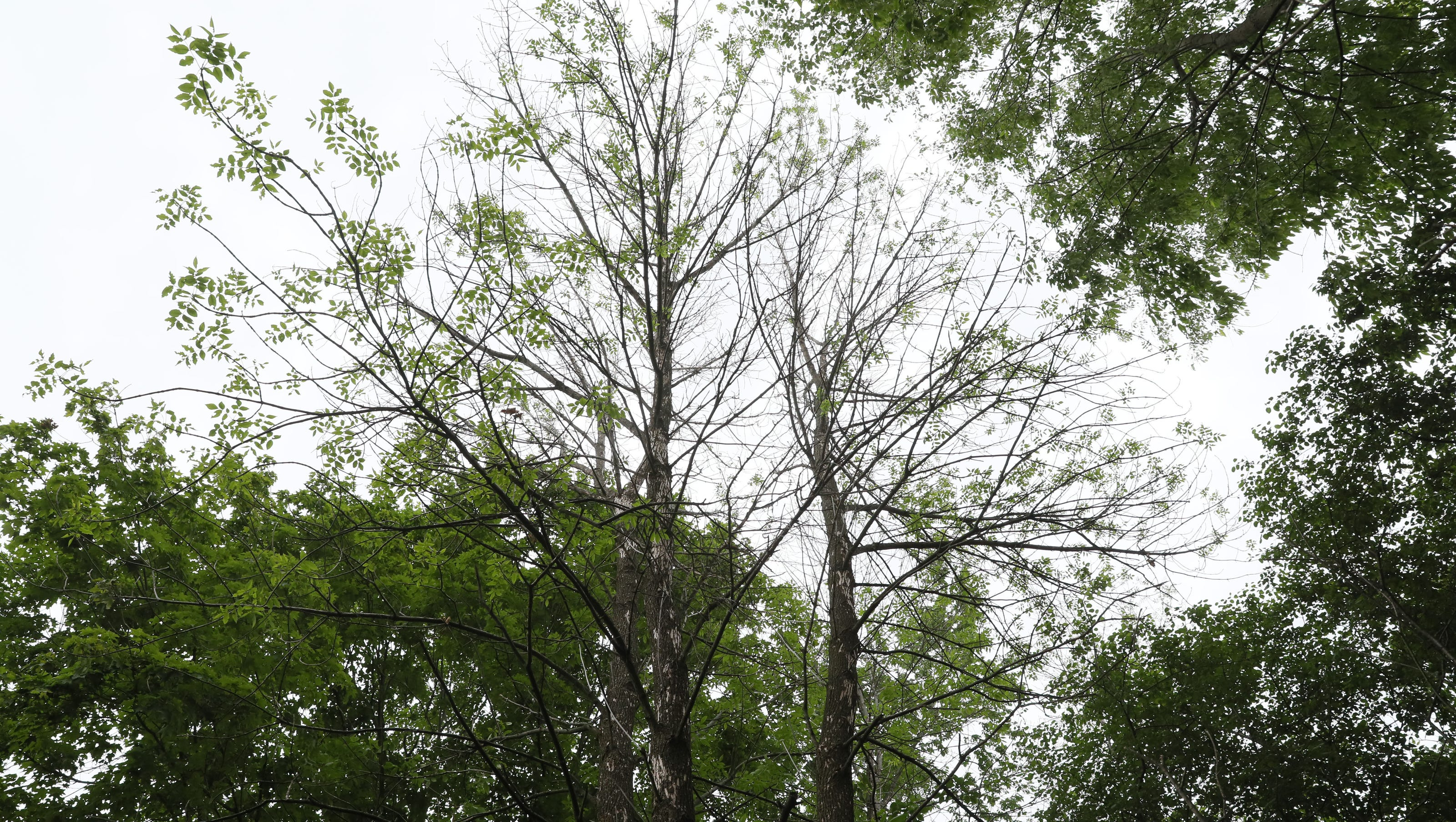 Orion Floating In Trees On January >> Emerald Ash Borer Continues To Hit Menomonee Falls Hard