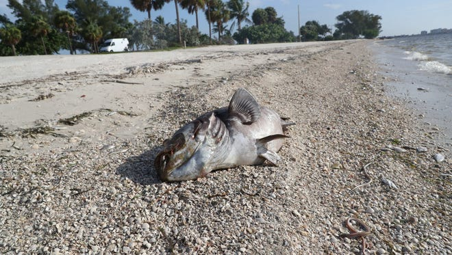 Dead sea life has been washing up on the shores of Southwest Florida. Two large Goliath Grouper were seen on the Sanibel Causeway on Wednesday, Aug. 1.