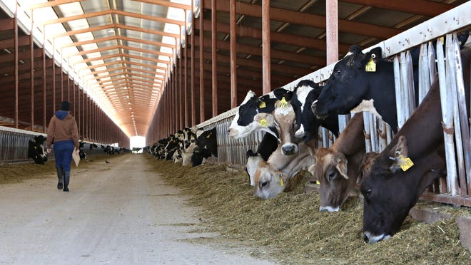 Some of the 10,000 dairy cows at Triple G Dairies whose waste is converted to methane gas and used by ECM to fuel a generator that is uploading power to the electrical grid via APS as seen in Buckeye on Feb., 10, 2015