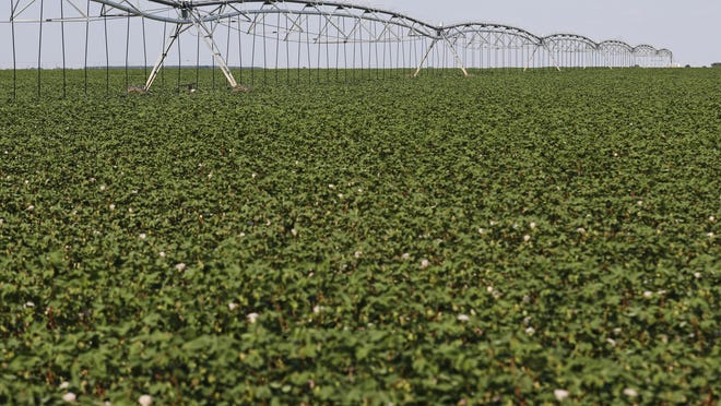 A center pivot irrigation system on cotton crops, Tuesday, Aug. 13, 2019, near Wolfforth, Texas.