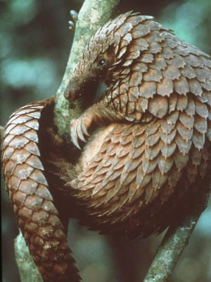 The armored pangolin with its powerful claws and sensitive nose.