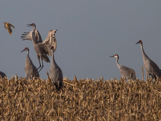 A male Sandhill crane tosses a corn husk in the air