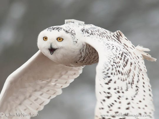 A snowy owl named Prairie Ronde has become the latest addition to Project SNOWstorm.