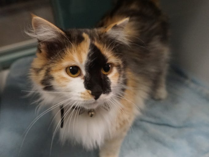 Cinder is a stunning calico with unique markings. She