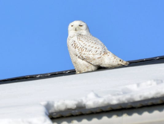 636196699434349568--nws-sub-snowy-owl.jpg