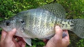 The crappie bite has been off on Kentucky Lake since 2011, but appears to be improving.