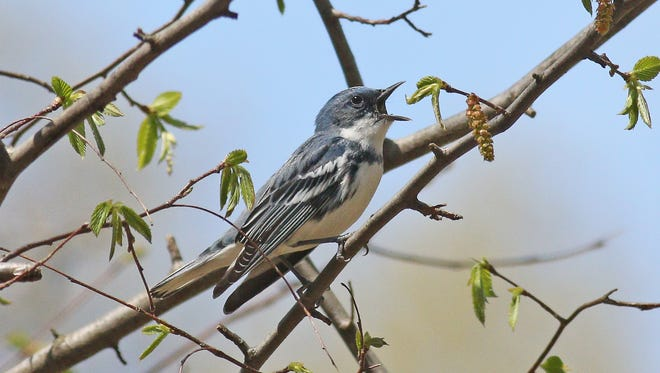The threatened Cerulean warbler is a Species of Special Concern.