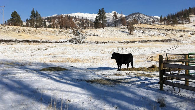 A cow stands on a ranch outside the Malheur National Forest near John Day, Ore.