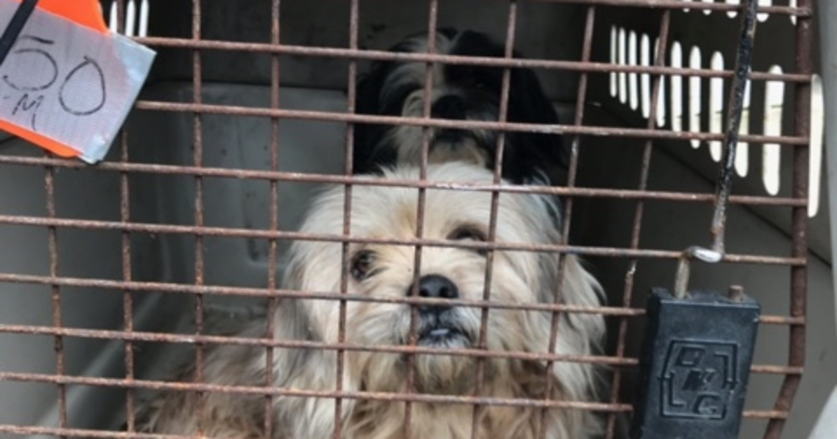 17 Shih Tzu and rat terrier mixes saved in Indiana animal