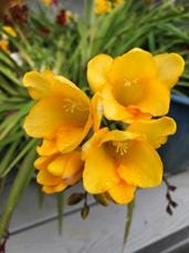 Freesias are a bright spring flower to enjoy in containers on the deck.