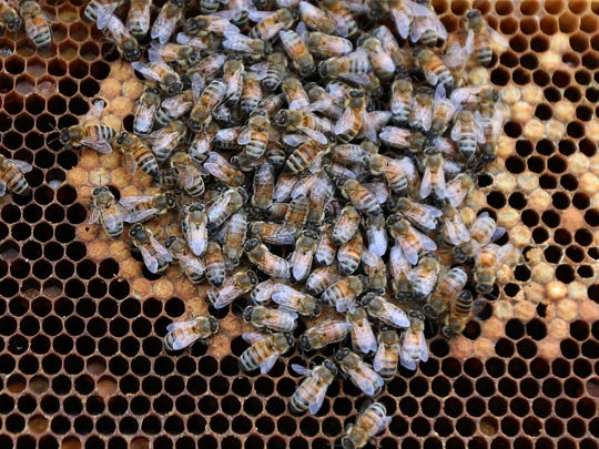 Honey bees bumble around their nest after Des Moines beekeeper Julia McGuire pulls it out of one of the many urban bee hives which she manages on Thursday, May 14, 2015.