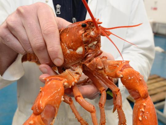 Rare golden lobster captured.