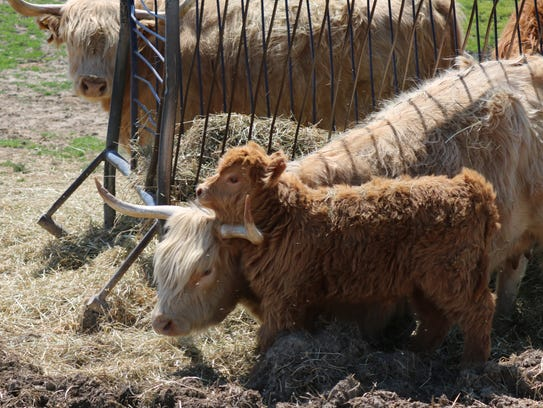 This young Scottish Highland calf, named Gusgusgus,