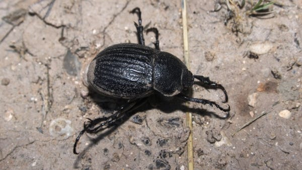 "Adult dung beetles possess modified front legs adapted for digging as well as feet tailor-made for ""rolling"" its food without getting stuck."