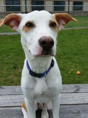 Spike is a 7-month-old lab mix who was dropped off