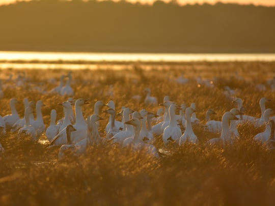 Snow geese in the marsh at the Chincoteague National Wildlife Refuge.