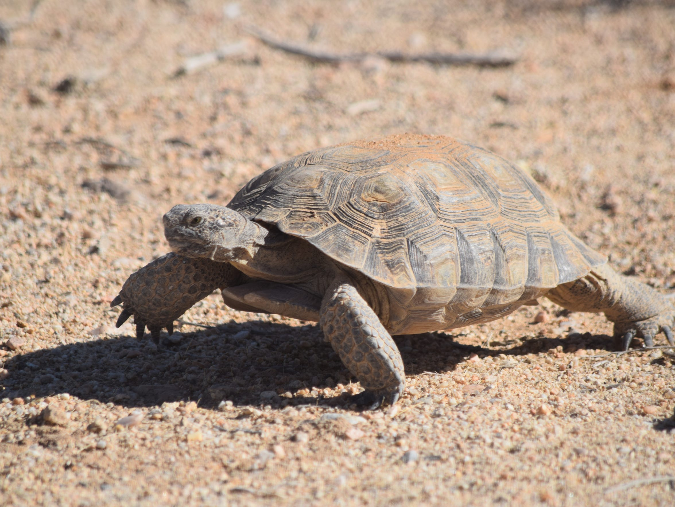 This is Thelma, a desert tortoise that resides at the Tortoise Research and Captive Rearing Site at the Marine Corps Air Ground Combat Center in Twentynine Palms, California, as seen on Sept. 30, 2015.