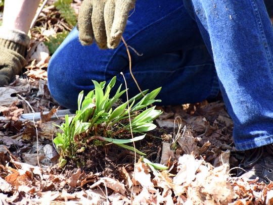 When ramps, or wild leeks, are first pulled from the