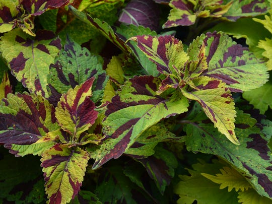 The eye-catching Coleus Finger Paint features dark burgundy accents on light green foliage.