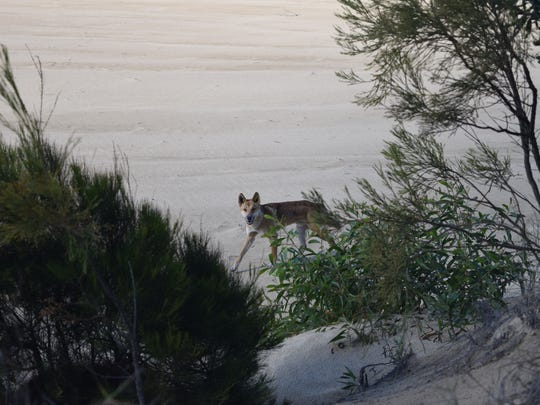 A dingo follows Eli Major on Fraser Island.