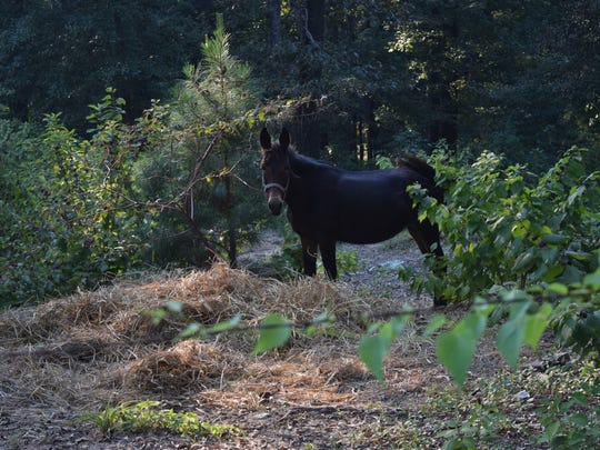 This equine lives on land on Bell Road in Pineville. Terry Coleman, whose parents live near the land, says the smell from manure is a problem. A Pineville official said horses and other equine are allowed within the city limits, but certain conditions must be met, including the regular removal of manure.