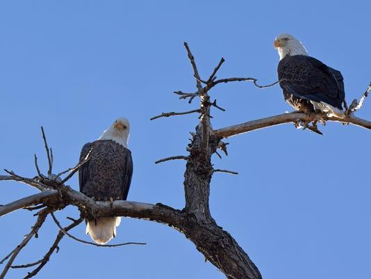 636149348990032997-FTCBrd-01-25-2015-Coloradoan-1-C010--2015-01-24-IMG-FTC.xplore.bird.watc-1-1-QP9OI6JS-L553266095-IMG-FTC.xplore.bird.watc-1-1-QP9OI6JS.jpg