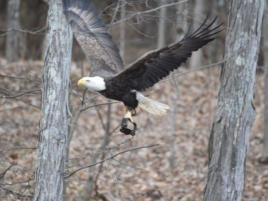 This bald eagle was seen in the area of Bonneauville,