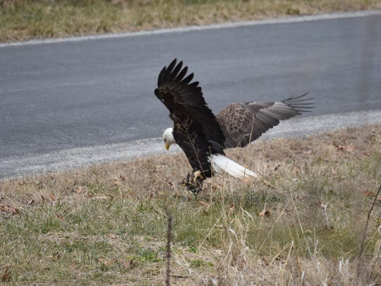 This bald eagle's foot is stuck in a leg-hold trap.