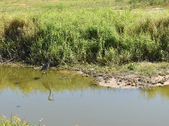 A great blue heron enjoys the cool water on a sunny morning in a natural preserve near Ave Maria on March 28, 2017. Orange Jeep Tours provides daily tours around the preservation.