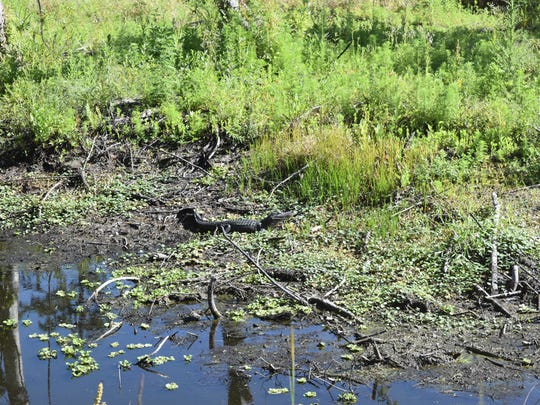 A smaller gator blends into the background at a preserve near Ave Maria. Orange Jeep Tours takes nature lovers into Southwest Florida's natural beauty.