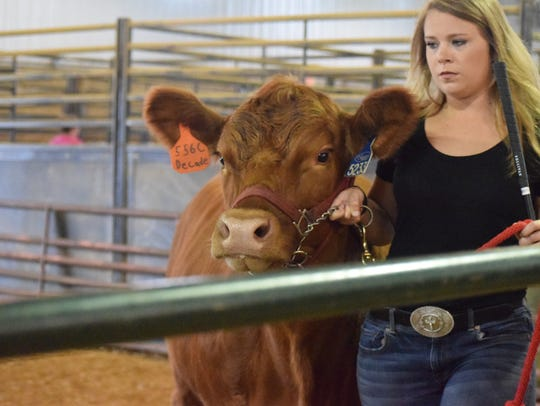 Courtney Ashby parades a steer around the ring.