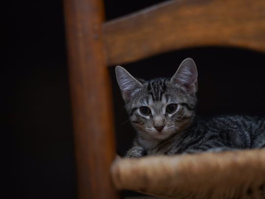 A kitten up for adoption relaxes in a chair at the