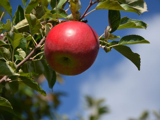 Apple picking is underway at Connecticut's Lyman Orchards.