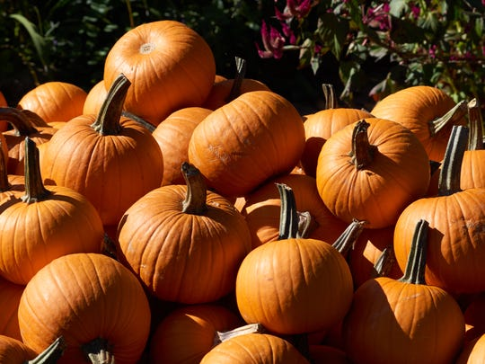 Pumpkins, warming in the sun, at Solebury Orchards in New Hope, Pennsylvania.