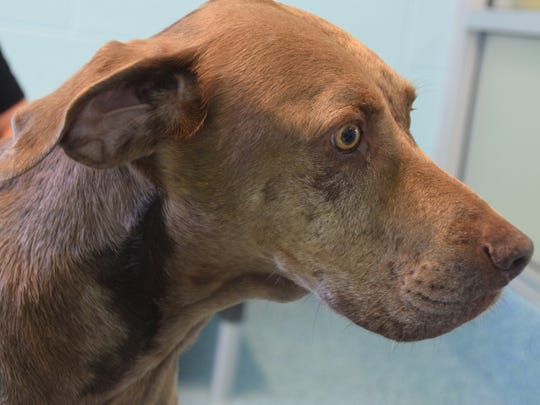 Cami, an 8-year-old Catahoula leopard mix, is one of the few dogs left at Humane Society Naples.