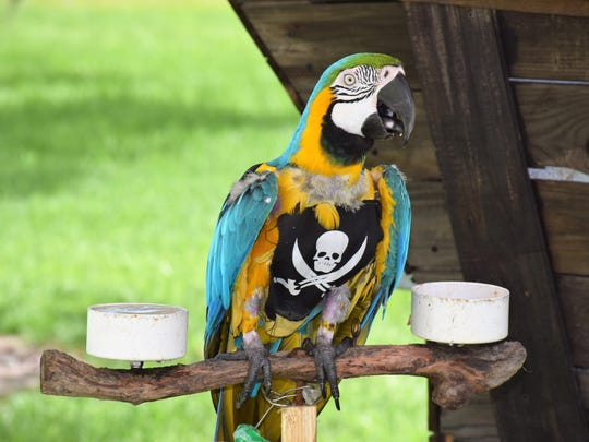 The Port Salerno Pirate Fest is Saturday at The Twisted Tuna in Manatee Pocket. Sapphire the parrot was featured at the Vero Beach Pirate Fest.