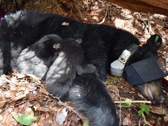The black bear is one of many tagged during two projects being conducted in the Great Smoky Mountains.