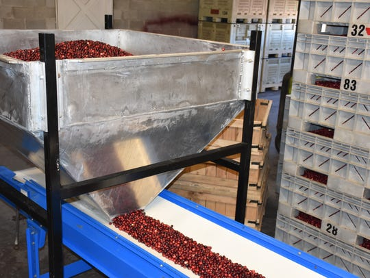 Cranberries are funneled down onto the conveyor belt.