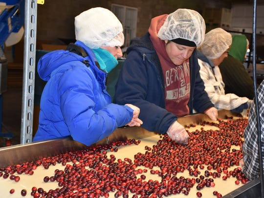 Workers inspect cranberries as they make their way down a conveyor belt.