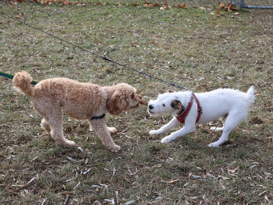 Finnegan and Opie play tug at Farrell Park on Nov.