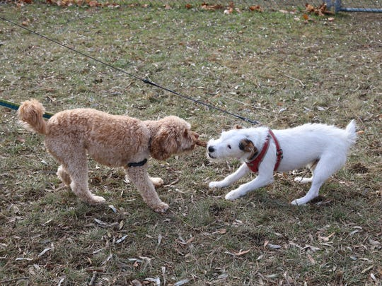 Finnegan and Opie play tug at Farrell Park on Nov. 25, 2017 as owners prepare to leave.