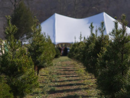 Rows of Christmas trees line the hills of Bluebird