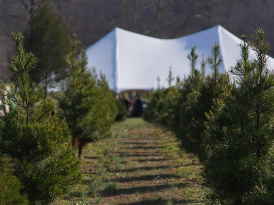 Rows of Christmas trees line the hills of Bluebird Christmas Tree Farm in Heiskell.