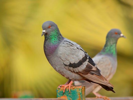HES-LR-120817-Pigeons.jpg