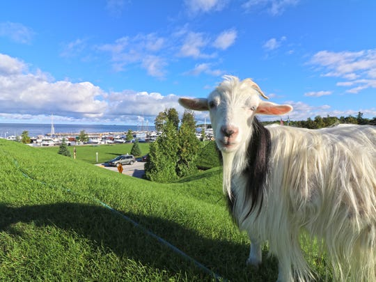 A goat pauses from munching grass on the roof of Al Johnson's Swedish Restaurant.