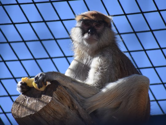 One of the two new Patas monkeys at the Alameda Park