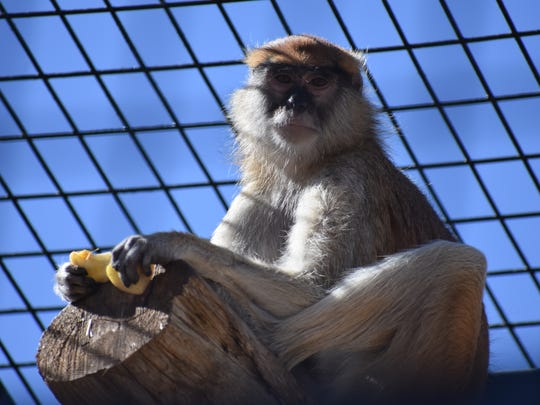 One of the two new Patas monkeys at the Alameda Park Zoo enjoys fruit Saturday afternoon.